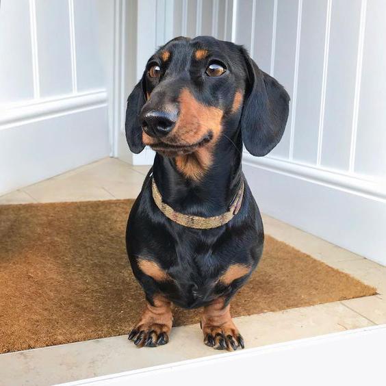 Dachshund, Black and Tan Dachschund, Wiener Dog Postcards
