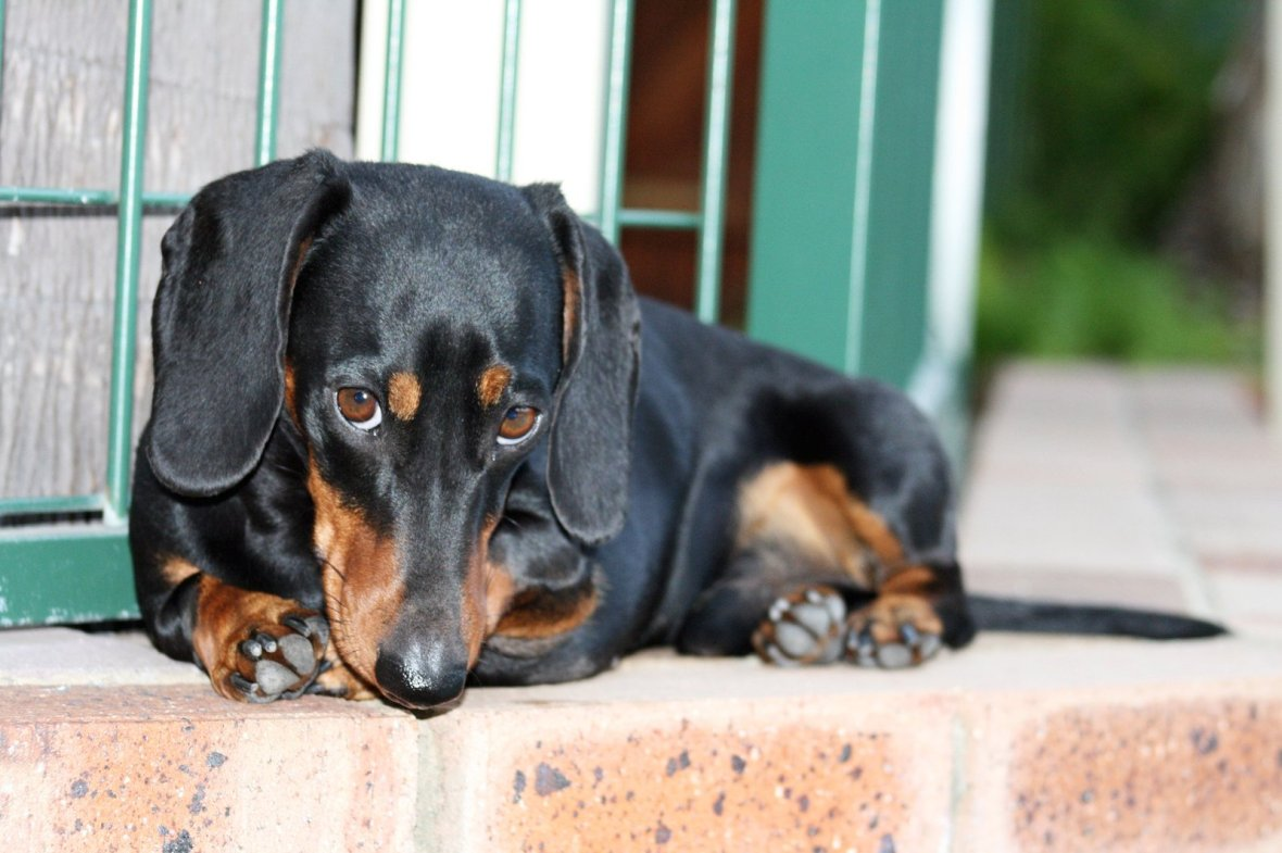 Miniature Dachshund, Black and Tan Wiener Dog Photo